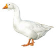 domestic goose isolated on white background