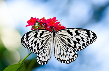 Paper Kite or Large Tree Nymph butterfly (Idea leuconoe)