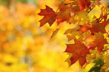 Colorful autumn maple leaves on a tree branch background