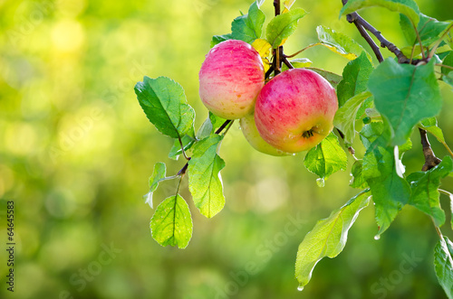 Tuinposter Bomen Apple fruits growing on an apple tree branch