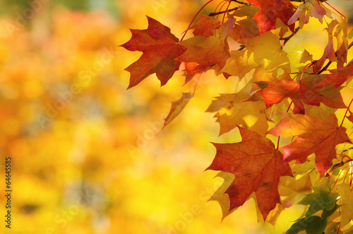 Foto Spatwand Bomen Colorful autumn maple leaves on a tree branch background