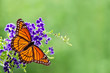 Viceroy butterfly (Limenitis archippus) on blue flowers - 64645921