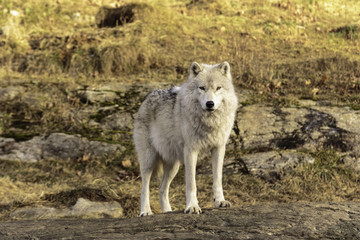 Arctic Wolf in fall scene