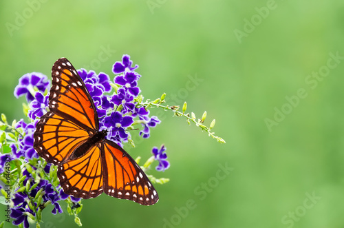 Deurstickers Vlinder Viceroy butterfly (Limenitis archippus) on blue flowers
