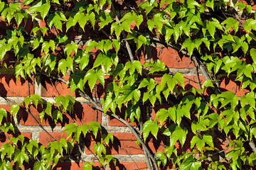 Ivy on the ancient brick wall