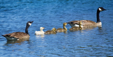 Canada Goose family with a white gosling swimming in lake