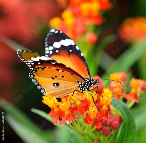 Poster Schmetterling auf orange Blume im Garten