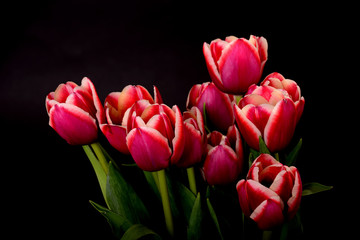 Crimson and White Tulips