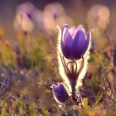Pasque Flower blooming on spring meadow