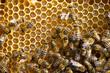 Obrazy na płótnie, fototapety, zdjęcia, fotoobrazy drukowane :  bees on honeycells