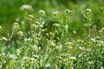 wild medicinal flowers closeup