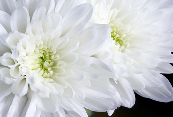 Close up white chrysanthemum flowers on black
