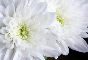 Close up white chrysanthemum flowers on black