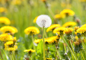 field of dandelion.