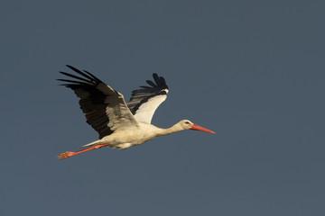 White stork in flight isolated on dark sky.