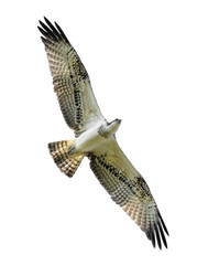 Bird of prey in flight (Osprey) isolated on white.