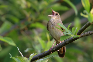 Songbird (River Warbler) singing in its natural behavior.