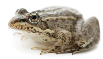 Eurasian marsh frog Pelophylax ridibundus isolated on white