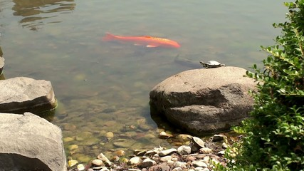Goldfish and a turtle in the Japanese garden.