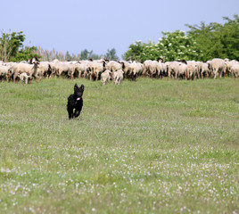 happy sheepdog running on field