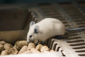 Mysz laboratoryjna