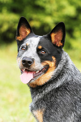 portrait of a australian cattle dog