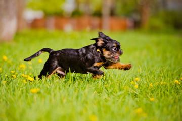 belgium griffon puppy running