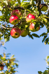apples in the fall on an apple tree