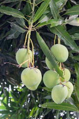 mangoes on a mango tree
