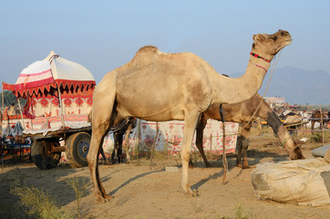 Two eating dromedaries in nomadic camp,India