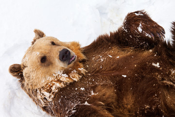 Happy brown bear playing in snow
