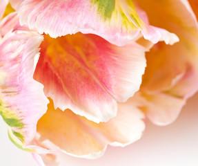 beautiful spring tulips
