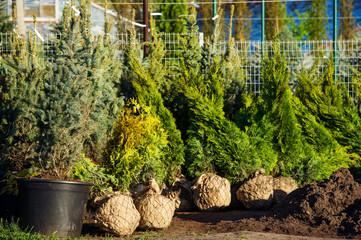 Trees in the evergreen nursery garden