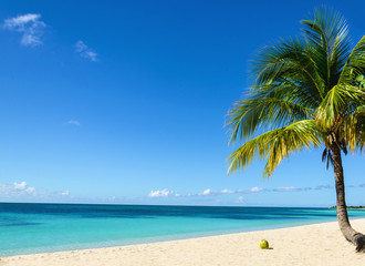 Coconut on an exotic beach with palm tree entering the sea