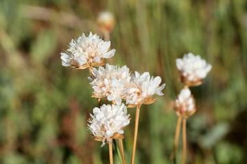Flores de Scabiosa.