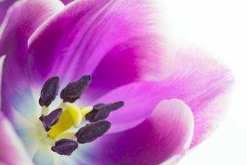 Makroaufnahme von Tulpenblüte