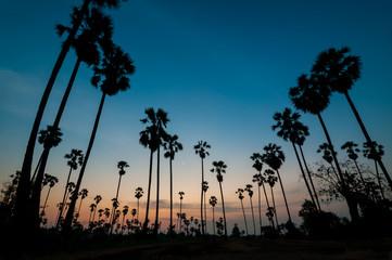 silhouette of sugar palm tree on twilight