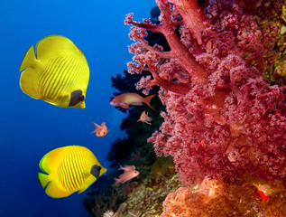 Coral reef and Masked Butterfly Fish