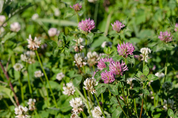 dewy white and red clover plants grow in meadow