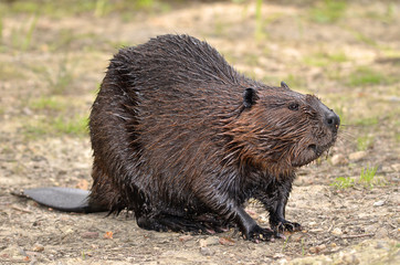 North American Beaver on ground