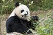 giant panda while eating bamboo