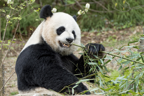 Papiers peints Panda giant panda while eating bamboo