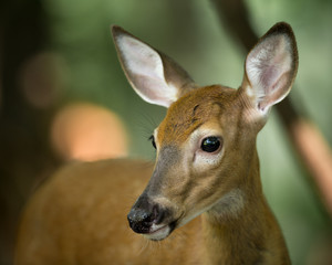 Young Deer on Alert in the Woods