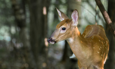 Fawn on Alert in the Woods
