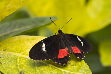 Pink Cattleheart Butterfly