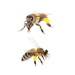 bee with pollen isolated on the white (with clipping path)
