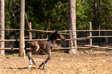 galloping foal