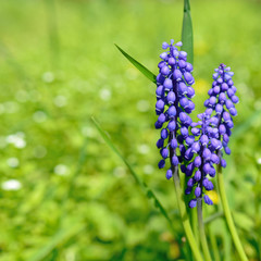 Grape hyacinth flowers on green background