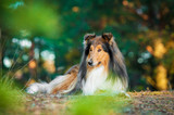 Rough collie lying in the park - 64682508