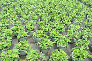 Strawberry plants  at the wholesale.